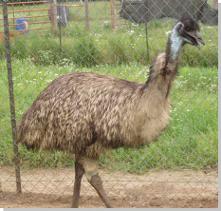 4-Star Emu Ranch